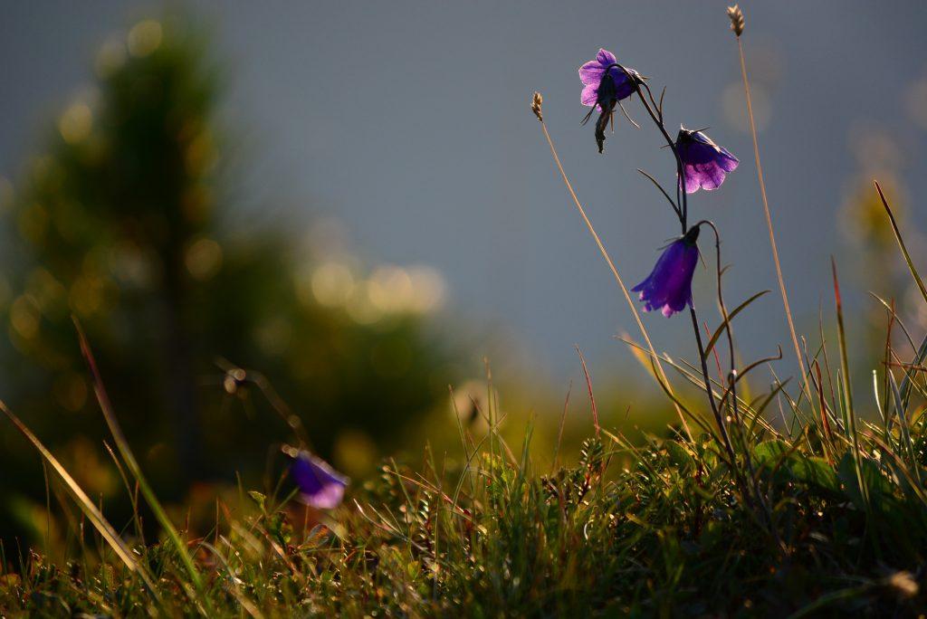 Bergpflanzen-Morgenlicht