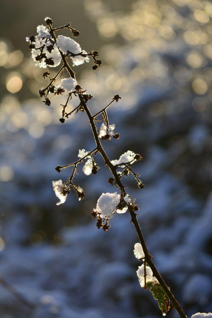 Brombeerranke-Schnee-Gegenlicht