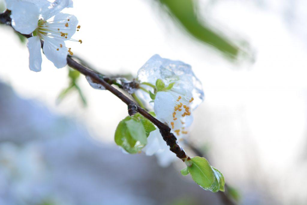 Kirschblüte-Winter